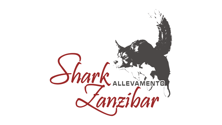 shark-zanzibar-allevamento-border-collie.png