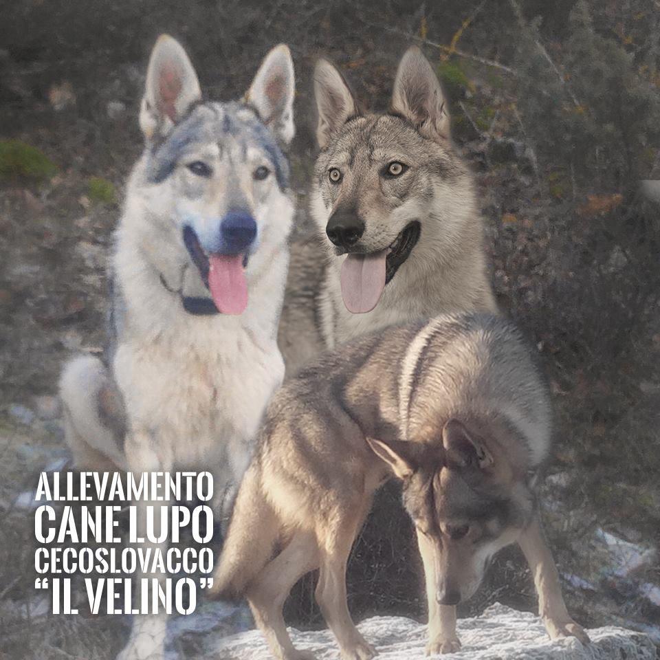 Allevamento_Cane_Lupo_Cecoslovacco_Il_Velino.jpg