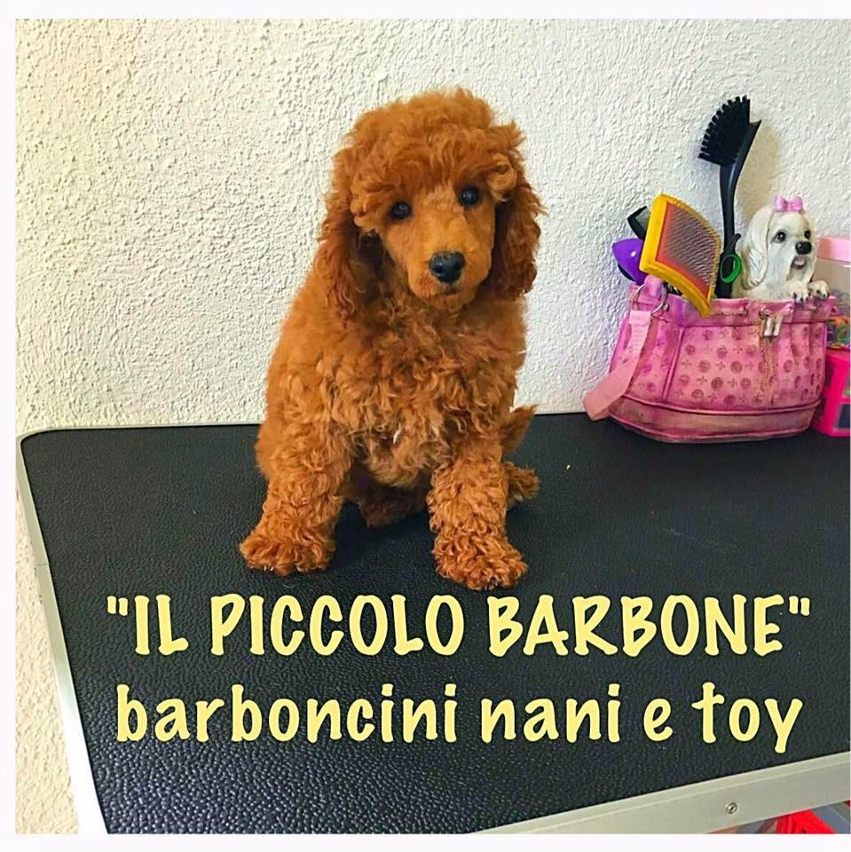 Allevamento_Barboni_Nani_e_Toy_IL_PICCOLO_BARBONE_4.jpg