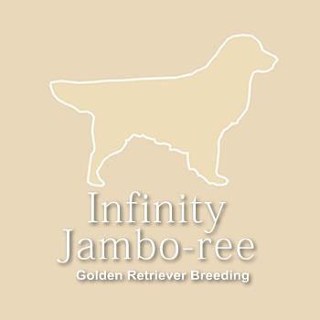 INFINITY_JAMBO-REE_Allevamento_Golden_Retriever_&_Bichon_Havanais.jpg