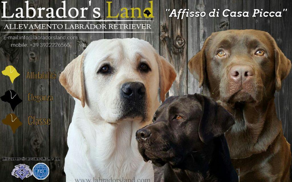 Labradors_Land_Allevamento_Labrador_Retriever_di_casa_Picca.jpg