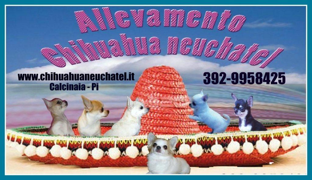 Petit_Neuchatel_Allevamento_Chihuahua.JPG
