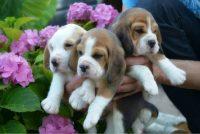 Allevamento_Beagle_Pacenco_1.jpg