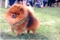 ALLEVAMENTO_POMSPRESTIGE_per_la_selezione_dello_SPITZ_TEDESCO_NANO_(Pomeranians).jpg