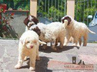 Allevamento_Lagotto_Romagnolo_Valle_dei_Medici_4.jpg