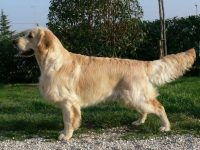 TataRò_Allevamento_Golden_Retriever_1.jpg