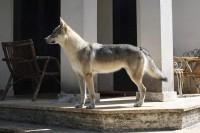 Wolf-Nature-Allevamento-Cane-Lupo-Cecoslovacco-Palermo-2.jpg
