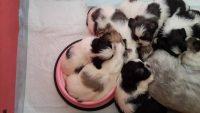 Puppy ShihTzu di Casa Sweet Lion 5.jpg