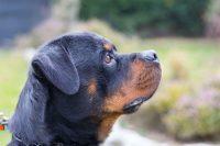 VON_HAUSE_DIOR_Allevamento_Rottweiler_1.jpg