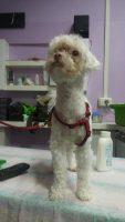 Toelettatura_Estetica_Canina_3.jpg