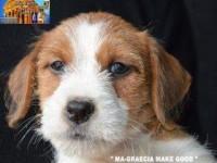 Allevamento-jack-russell-terrier-MAGNA-GRAECIA-3.jpg