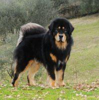 CarChi's_Farm_Allevamento_Tibetan_Mastiff_1