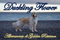 Duckling Flower - Allevamento di Golden Retriever.jpg