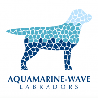 Aquamarine-Wave_Allevamento_Labradors.png