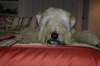 IULIUS_Allevamento_Airedale_Terrier_&_Irish_Soft_Coated_Wheaten_Terrier_4.JPG