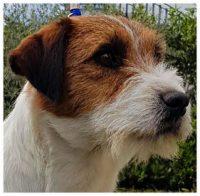 Elirica Allevamento Jack Russell Terrier_2.jpg