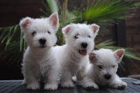 Allevamento_West_Highland_White_Terrier_Zackshine_2.jpeg