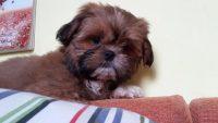 Puppy ShihTzu di Casa Sweet Lion 2.jpg