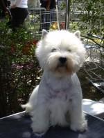 Allevamento West Highland White Terrier Alekos zigghy.jpg