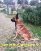 BLADE Pastore Belga Malinois.jpg