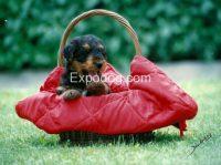 IULIUS_Allevamento_Airedale_Terrier_&_Irish_Soft_Coated_Wheaten_Terrier_2.jpg