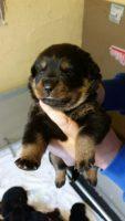 VON_HAUSE_DIOR_Allevamento_Rottweiler_2.jpg