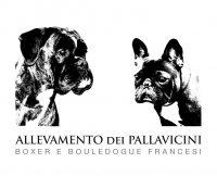 allevamento_boxer_e_bouledougue_francesi_dei_pallavicini.jpg