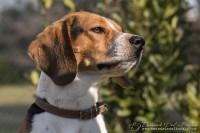 www.emanueledelbufalo.com #pet photography #maki #beagle #ritratto #ancona.jpg