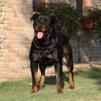 Mecenate_dell'Osteoborus_Allevamento_Rottweiler_2.jpg