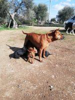 ISA Campionessa Italiana Enci THAY RIDGEBACK DOG.jpg