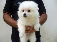 cuccioli-volpino-italiano-bianco-pedigree-2.jpg