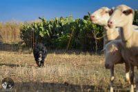 sheepnusa-sheepdog-center-1.jpg