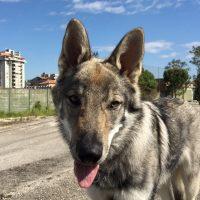 Furia-Grigia-Kennel-Allevamento-del-Cane-Lupo-Cecoslovaccoj-4.jpg