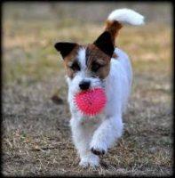 Elirica Allevamento Jack Russell Terrier_3.jpg