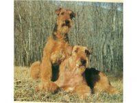 IULIUS_Allevamento_Airedale_Terrier_&_Irish_Soft_Coated_Wheaten_Terrier_1.jpg