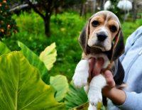 Allevamento_Beagle_Pacenco_2.jpg