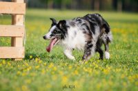 shark-zanzibar-allevamento-border-collie-4.jpg