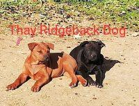 CUCCIOLI THAY RIDGEBACK DOG.jpg