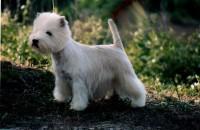 Allevamento West Highland White Terrier Alekos bianca.JPG