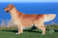 Allevamento-Golden-Retriever-Olvinglay-2.jpg