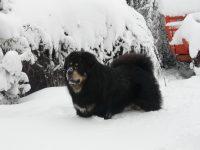 CarChi's_Farm_Allevamento_Tibetan_Mastiff_2