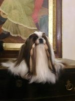 MAGIC_TALKABOUT_ Allevamento_Shih-Tzu_4.jpg